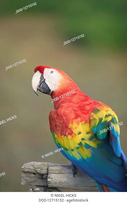 South America, Brazil, Close-up of Scarlet Macaw Ara macao
