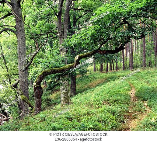 Poland. Kashubian region. Forest