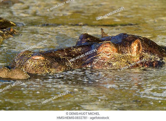 Kenya, Masai Mara National Reserve, Hippopotamus (Hippopotamus amphibius)