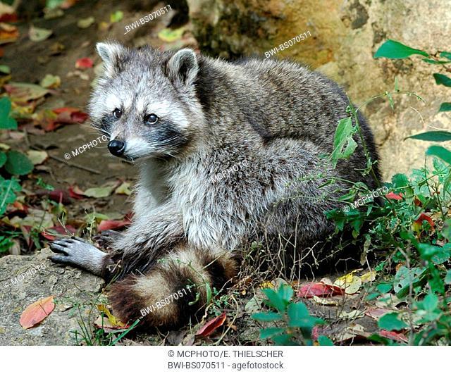 common raccoon (Procyon lotor), sitting, USA