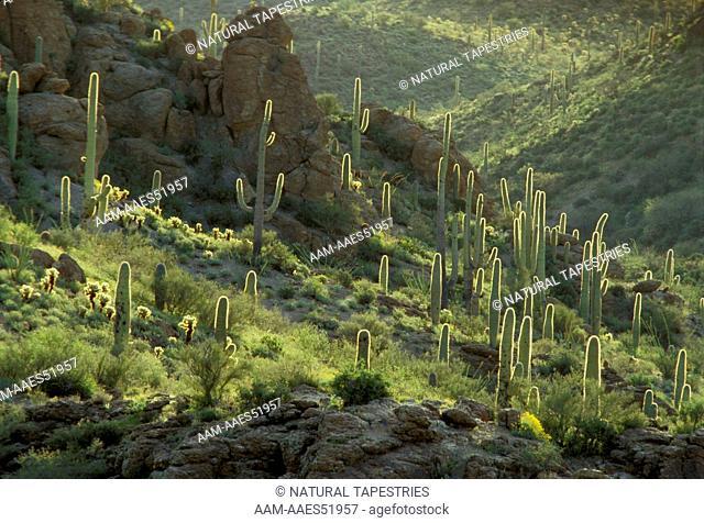 Saguaro backlit, Saguaro National Park, Sonoran Desert, AZ