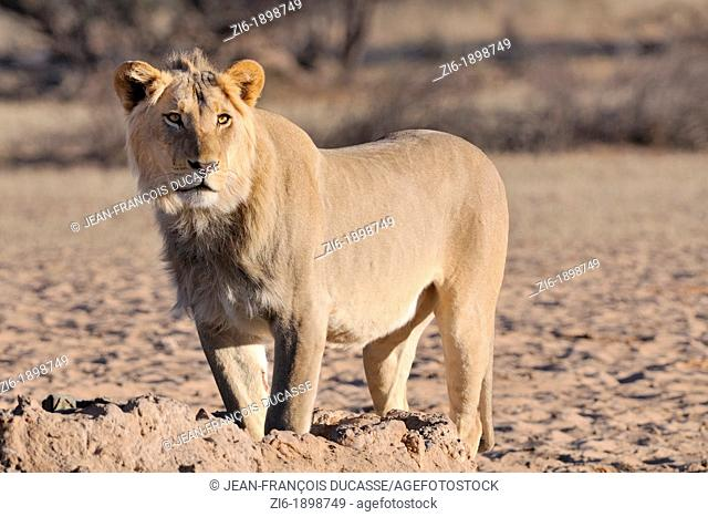 Lion, Panthera leo, standing at the waterhole, Kgalagadi Transfrontier Park, Northern Cape, South Africa