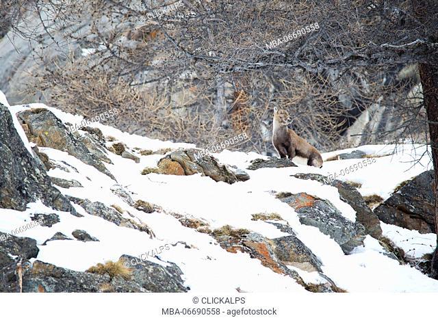 Steinbock female, Capra ibex, on mountain