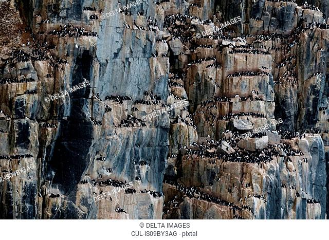 Rows of bruennich's guillemots (uria lomvia) perching together on coastal cliff, Alkefjellet, Spitsbergen, Svalbard, Norway
