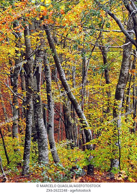 Autumn beech forest (Fagus sylvatica) on a rainy afternoon at Montseny Natural Park. Barcelona province, Catalonia, Spain