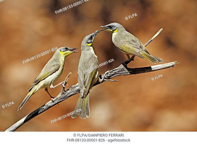 Grey-headed Honeyeater (Lichenostomus keartlandi) three adults, interacting, perched on twig, Ormiston Gorge, West MacDonnell N.P