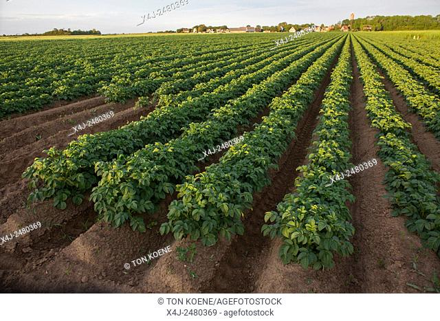 potato production in the netherlands