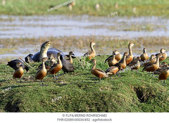 Lesser Whistling-duck (Dendrocygna javanica) flock, with Indian Flap-shelled Turtle (Lissemys punctata) adult, on bank in wetland, Keoladeo Ghana N.P