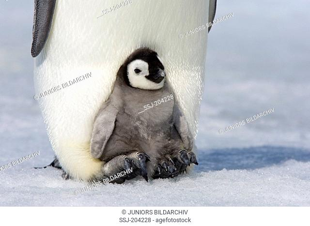 Emperor Penguin (Aptenodytes forsteri). Chick on the feet of a parent bird. Snow Hill Island, Antarctica