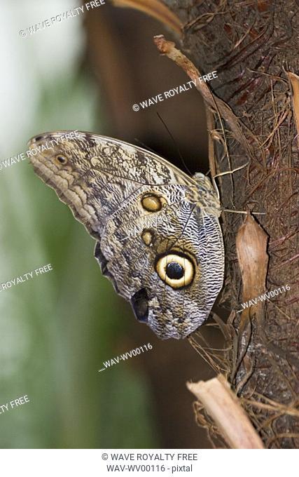 Owl butterfly Caligo idomeneus resting on trunk, Niagara Butterfly Conservatory, Niagara Falls, Ontario, Canada