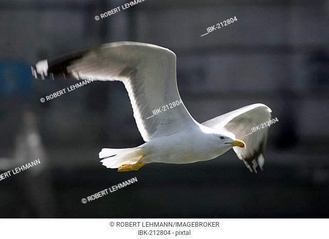 Flying Common Gull (Larus canus)