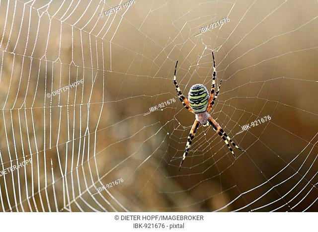 Wasp Spider (Argiope bruennichi) in its web with dewdrops