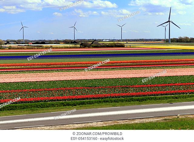 tulips field, Netherland, wind wheel, Alkmaar, Bluehendes Tulpenfeld bei Alkmaar, Holland, Niederlande, Nordholland