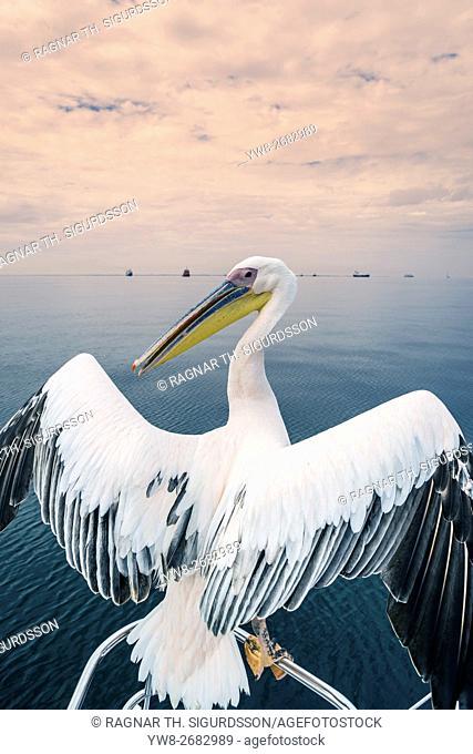 Pelican in Walvis Bay, Namibia, Africa