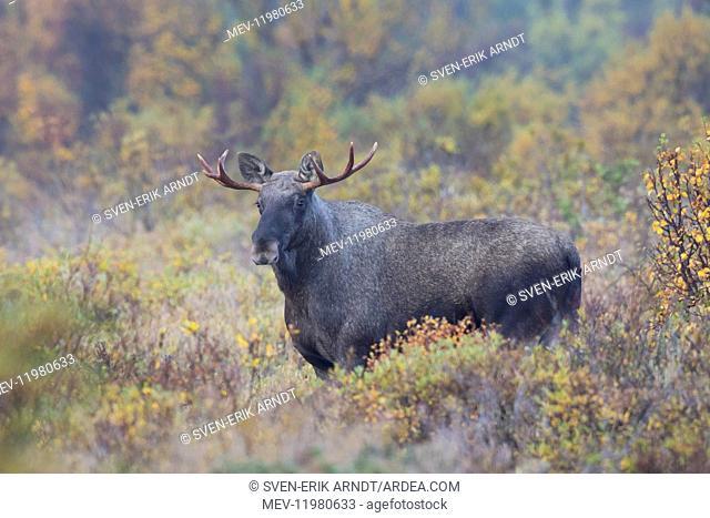Moose young bull in moorland Jaemtland , Sweden
