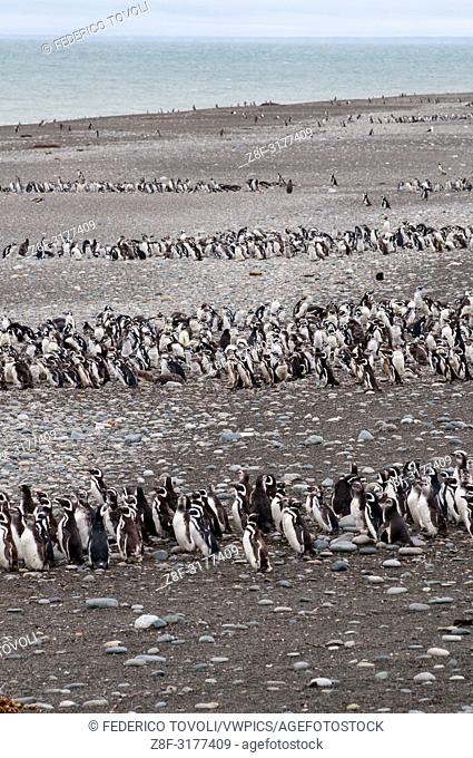In the protected area dedicated to the Magellanic penguins, sulal beach of Cabo de Virgenes. Argentina