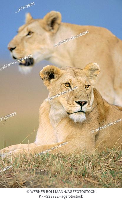 Lions (Panthera leo), female after hunting. Masai Mara. Kenya