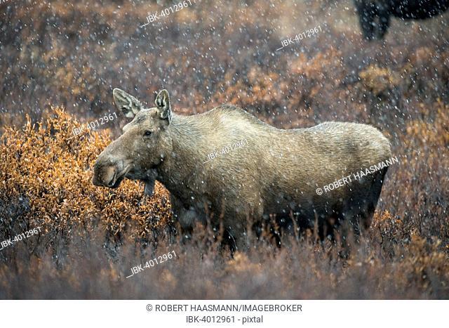 Moose (Alces alces), snowfall, Denali National Park, Alaska, United States
