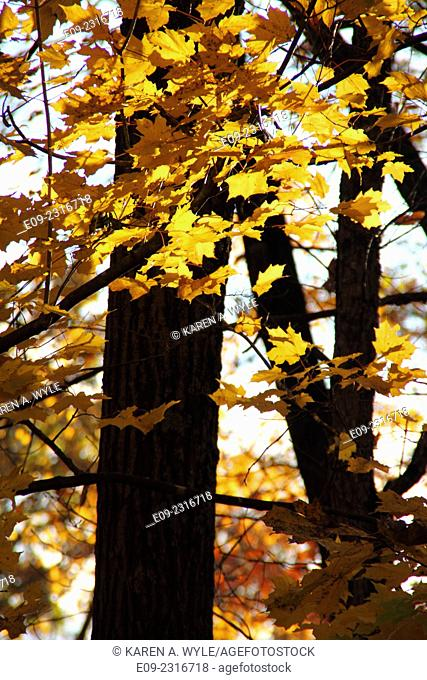 golden maple leaves against tree trunks in autumn, Monroe County, Indiana