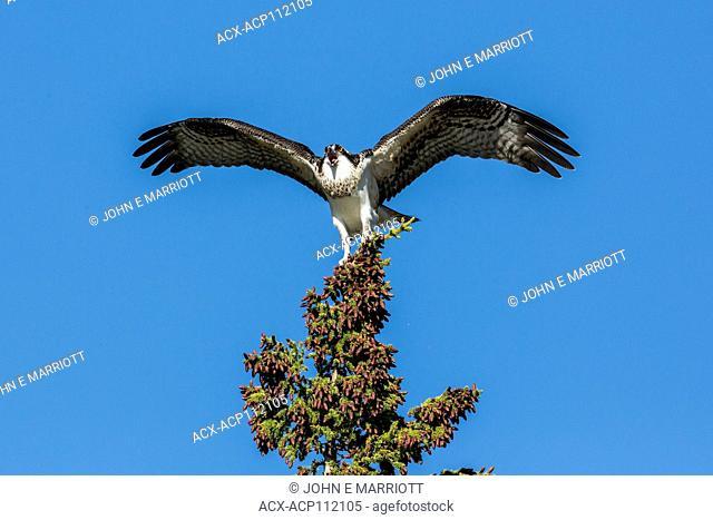 Osprey, Pandion haliaetus, British Columbia, Canada