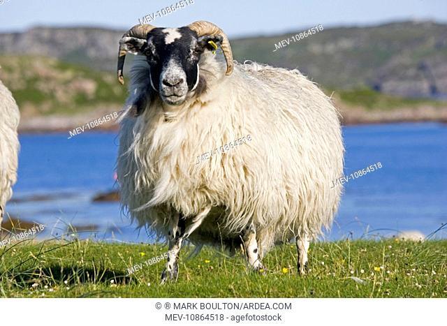 Scottish black-faced sheep. Isle of Mull, Scotland, UK