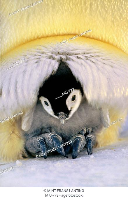 Emperor penguin chick brooded by parent, Aptenodytes forsteri, Weddell Sea, Antarctica