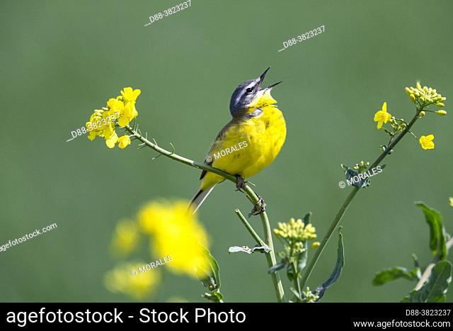 France, Department of Oise (60), Senlis region, land of great cultivation, Spring wagtail (Motacilla flava), male posed on a rapeseed plant, to call a female