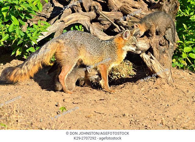 Grey Fox - (Urocyon cinereoargenteus) Mother interacting with kit, captive raised, Minnesota wildlife Connection, Sandstone, Minnesota, USA
