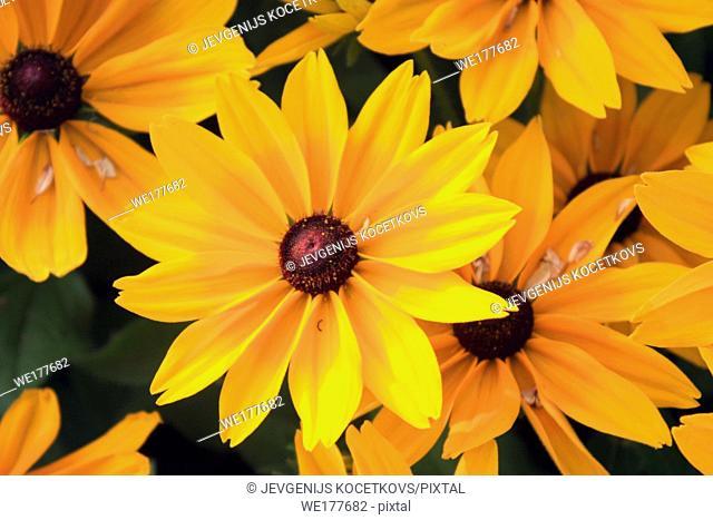 Black-Eyed Susan yellow flowers, Rudbeckia hirta. Close up shooting