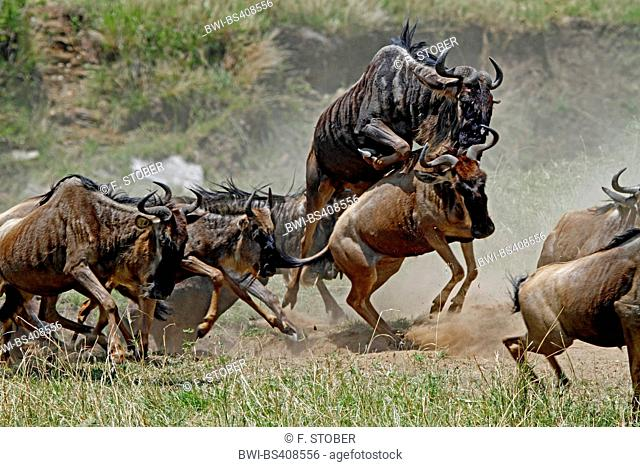 Eastern White-bearded Wildebeest (Connochaetes taurinus albojubatus), herd fleeing, Kenya, Masai Mara National Park