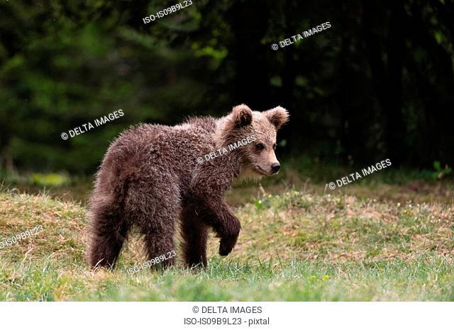 Young European brown bear (Ursus arctos), Markovec, Bohinj Commune, Slovenia, Europe