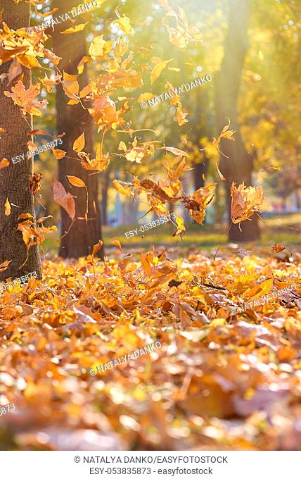 dry bright orange and yellow leaves flying in the air in an autumn park in the rays of the evening sun, November autumn park with trees, beautiful background