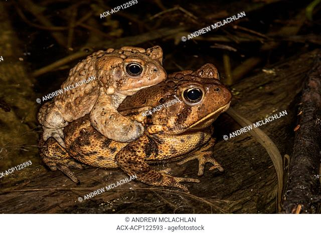 American Toads (Bufo americanus) in amplexus in vernal pond at night during the spring breding season near Barrie, Ontario, Canada