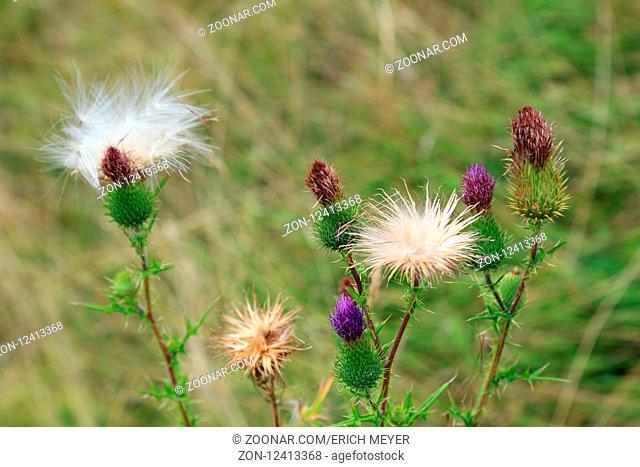 Knospen, Blüten und Samenstand der Gewöhnlichen Kratzdistel, Common thistle, Cirsium vulgare