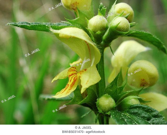yellow archangle (Lamium montanum, Galeobdolon montanum), flower