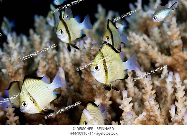 Reticulated Dascyllus, Dascyllus reticulatus, Namena, Marine, Reserve, Fiji, Damselfish, Damselfishes, Pomacentridae, Perciformes, Coalfish, coral fishes