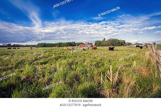 Dairy cows in a field with a red barn in the background; Sherwood Park, Alberta, Canada