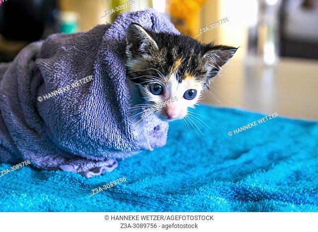 Cute kitten wrapped in a towel to dry after bathing