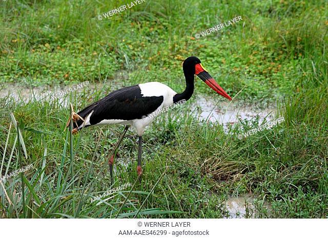 Saddle-billed Stork (Ephippiorhynchus senegalensis) Kenya