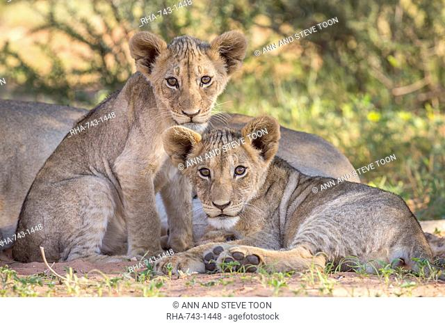 Lion cubs (Panthera leo) in the Kalahari, Kgalagadi Transfrontier Park, Northern Cape, South Africa, Africa