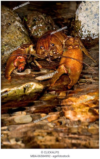 Austropotamobius pallipes is a rare freshwater italian shrimp, Aveto valley, Genoa, Italy, Europe