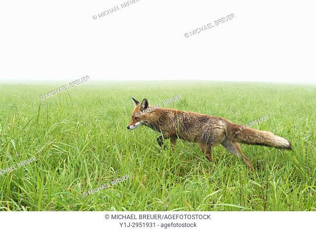 Red Fox (Vulpes vulpes) on misty morning, Springtime, Hesse, Germany, Europe