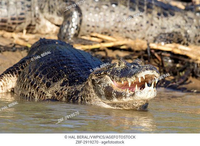Yacare Caiman showing teeth (Caiman yacare) Pantanal, Brazil