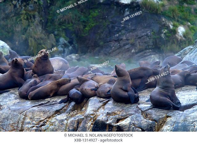 Northern Steller sea lion Eumetopias jubatus hauled out on South Marble Island in Glacier Bay National Park, Southeastern Alaska