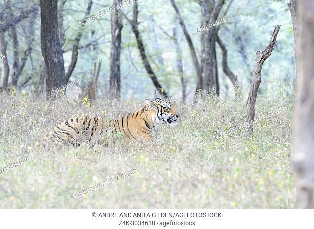 Royal bengal tiger (Panthera tigris tigris) lying down in forest, Ranthambhore National Park, Rajasthan, India