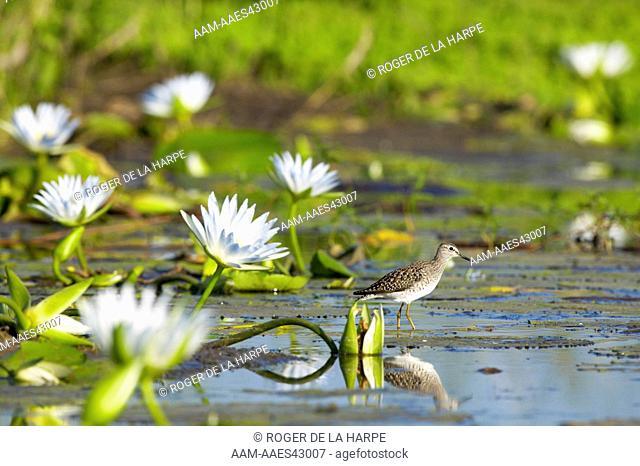 Wood Sandpiper (Tringa glareola) in wetland with Blue Water Lilies (Nymphaea caerulea) . Northern Tuli Game Reserve. Botswana