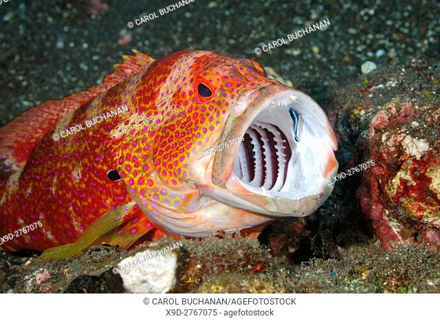 An adult Tomato Cod, or grouper, Cephalopholis sonnerati, having teeth cleaned by a Blue Streak Cleaner wrasse, Labroides didimidiatus