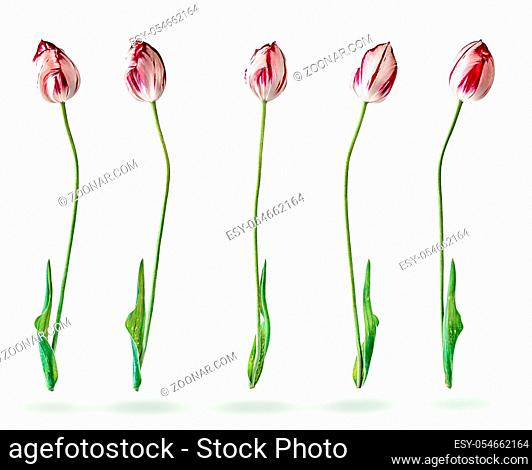 Several tulips in a row isolated on white background