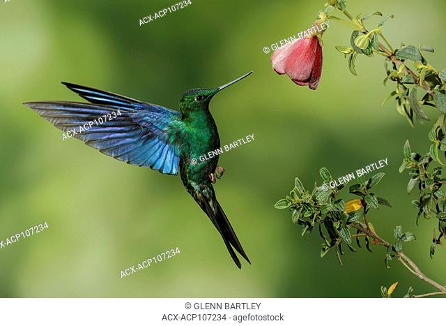 Great Saphirewing (Pterophanes cyanopterus) flying and feeding at a flower in the mountains of Colombia, South America