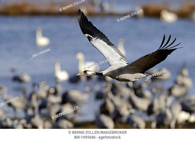 Common or Eurasian Cranes (Grus grus), at roost, crane in flight, Lake Hornborga, Hornborgasjoen, Vaestergoetland, Sweden, Scandinavia, Europe